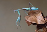 "Science tumblr currentsinbiology ""Giant Asian mantis"""