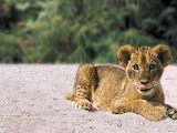 Baby-lion-wildlife-pictures
