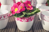 Primroses, flowers, cups, spring, pink color