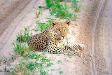 Leopard on the Road w/ Brave Africa
