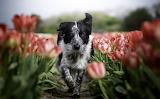 Border-collie-tulips