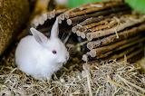 RabbitMataMerah