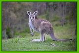Kangaroo_2013