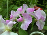 Ornamental Sweet Pea 04