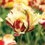 ^ Parrot Tulip 'Texas Flame'