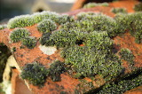 Mousse sur une tuile / Moss on a tile