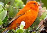 Akepa bird, native Hawaii