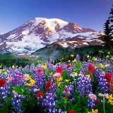 Lupines Field...
