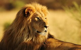 #African Lion