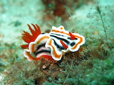 Nudibranch chromodoris slug 1537993