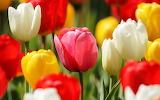 ^ Red, yellow, white tulips