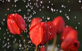 #Tulips in the Rain