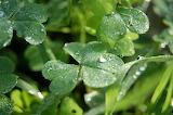Trèfle Diamanté / Dew diamonds on Clover leaves