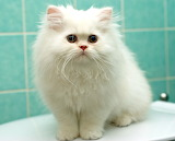 White fluffy Persian kitten