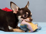 Dog eating socks