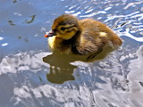 Duckling at Richmond Park. London