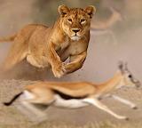 Gazelle vs Lion
