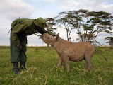 Ranger pats a baby rhinoceros in the Samburu National Reserve Ke