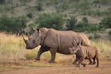 Rhinocéros et son petit