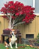 Brilliant Burning Bonsai indifferent dog