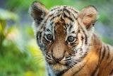 Tigerbaby im Tierpark Hagenbeck