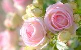 Розы 39