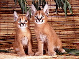 Florida Panther Cubs...
