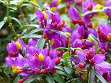 polygala chamaebuxus flower