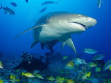 Cover-r4x3w1000-582c547f251d8-shark feediong