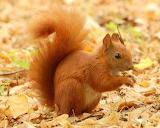 1200px-Red Squirrel - Lazienki