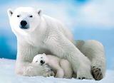 Polar Bear & Baby...