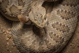 Mohave Rattler