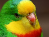 ^ Parrot head close-up, colorful feathers, beak, eye
