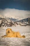 Romanian Sheepdog