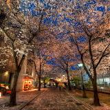 Kyoto Under Cherry Blossoms