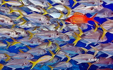 Longjaw squirrel fish swims against school of horse-eye jacks. L