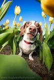 beautiful dog in field of tulips