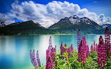 Lupines by the Lake