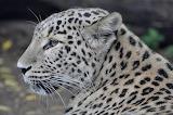 ☺♥ Persian leopard...
