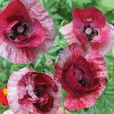 ^ Poppy - Raspberry Ripple