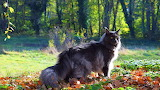Cats Maine Coon Grey 571162 1280x720
