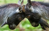 Pygmy Goats butting heads