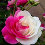 ^ Pink and White Rose