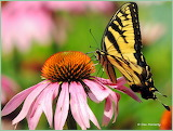 Eastern Tiger Swallowtail Pink Cone Flower