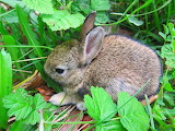 Baby Bunny in the Grass