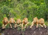 Resting Lions, Tanzania...