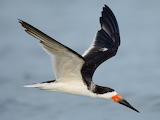 black skimmer bird