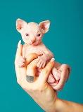 Sphynx Kitten...