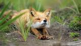 Digital-art-animals-grass-wildlife-fox-whiskers-fauna-mammal-pra