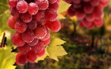 #Grape Harvest